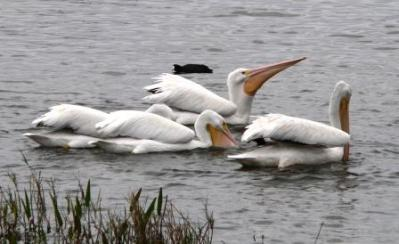 American White Pelicans at Lake Hollingsworth