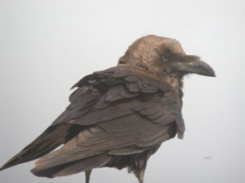 Brown-necked Raven, Israel