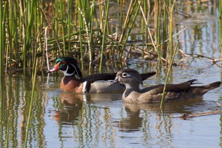 Wood Duck Pair by Mike Bader