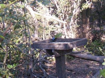 Green Jay at Santa Ana NWR