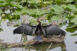 Outstretched Anhinga by Dan