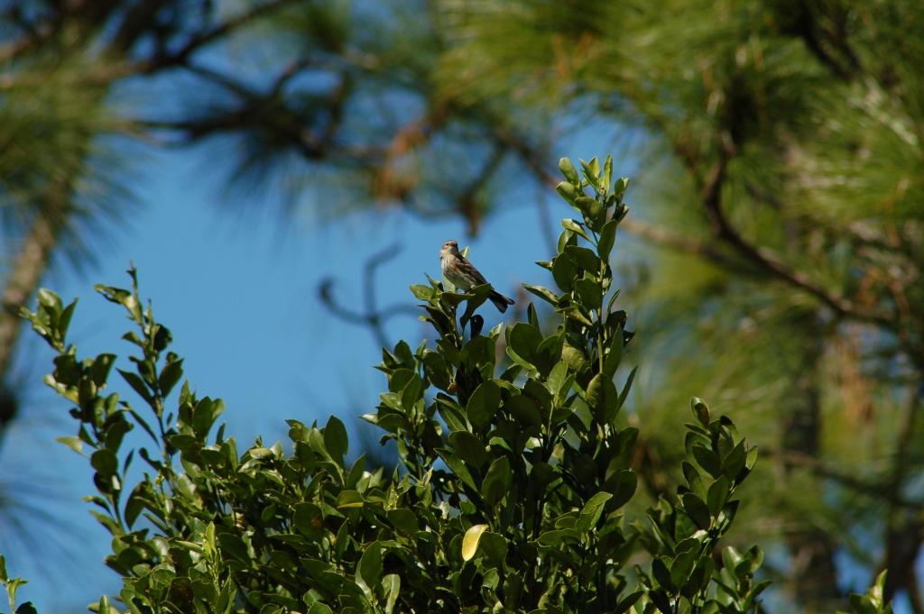 Audubon's Warbler (Setophaga auduboni) Bok Sanctuar by Dan