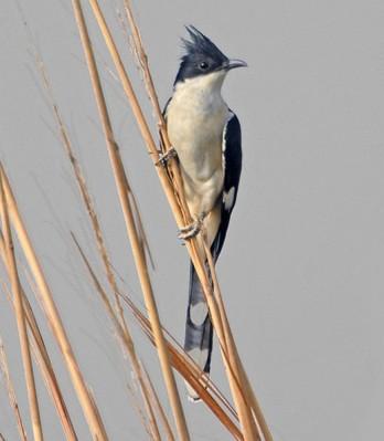 Jacobin Cuckoo (Clamator jacobinus) by NikhilDevasar