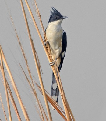 Jacobin Cuckoo (Clamator jacobinus) by NikhilDevasar