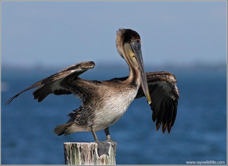 Brown Pelican (Pelecanus occidentalis) by Ray