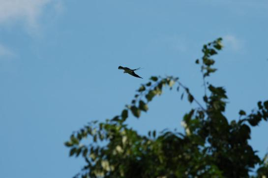 Swallow-tailed Kite (Elanoides forficatus) bu Dan Bok Sanctuary