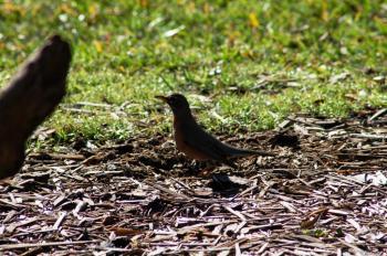 American Robin (Turdus migratorius) by Dan at Bok Sanctuary