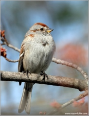 American Tree Sparrow (Spizelloides arborea) by Ray