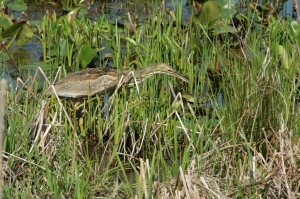 Bittern  by Gramps