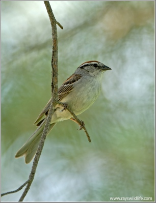 Chipping Sparrow (Spizella passerina) by Ray