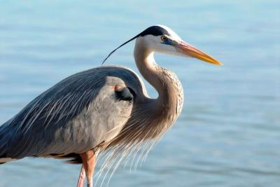 Great Blue Heron (Ardea herodias) by Dan