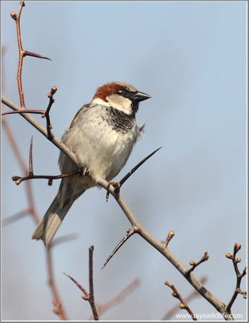 House Sparrow by Ray