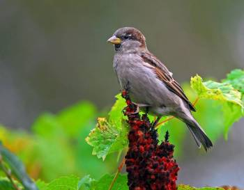 House Sparrow (Passer domesticus) by Ray