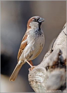 House Sparrow by Ray's Wildlife Photography