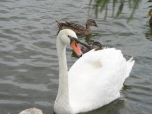 Swan by Lee at Lake Morton