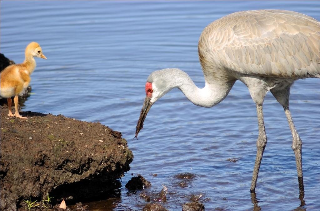 Cranes   Lee's Birdwatching Adventures Plus