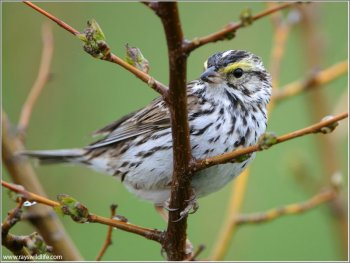 Savannah Sparrow (Passerculus sandwichensis) by Ray