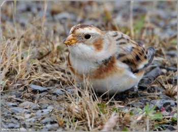 Snow Bunting (Plectrophenax nivalis) by Ray