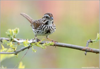 Song Sparrow by Ray