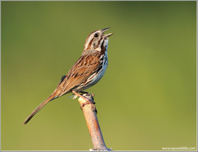 Song Sparrow (Melospiza melodia) by Ray
