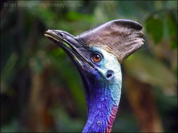 Southern Cassowary (Casuarius casuarius)y by Ian Montgomery