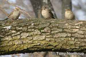 Three Sparrows