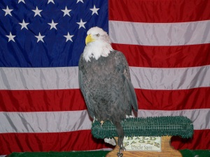 Uncle Sam - Bald Eagle taken at Titusville Birding Festival