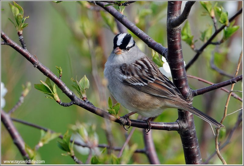 White-crowned Sparrow (Zonotrichia leucophrys) by Ray