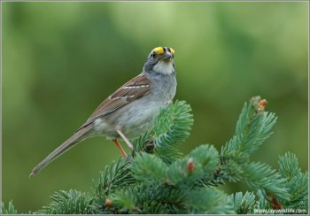 White-throated Sparrow (Zonotrichia albicollis) by Ray