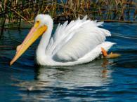 American White Pelican, by Dan's Pix