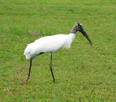 Wood Stork by Lee