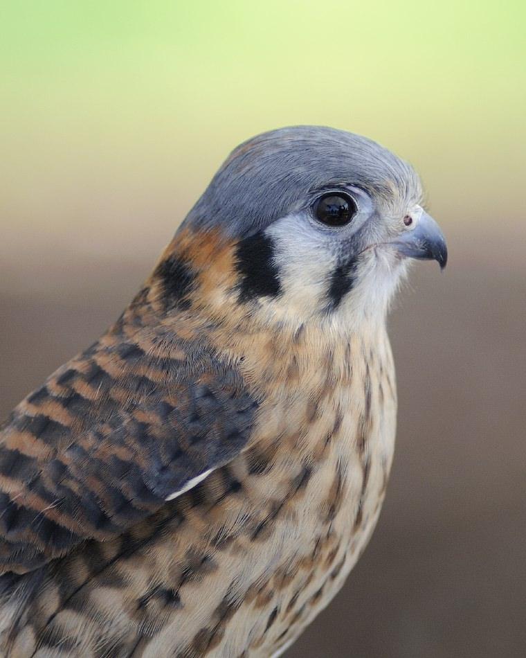 Birds: Birds Of The Bible – Falcons
