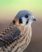 American Kestrel by AestheticPhotos