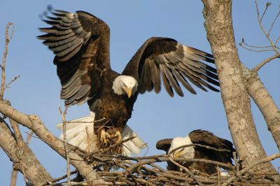 Bald Eagle Brings Nesting Material by Aesthetic Photos