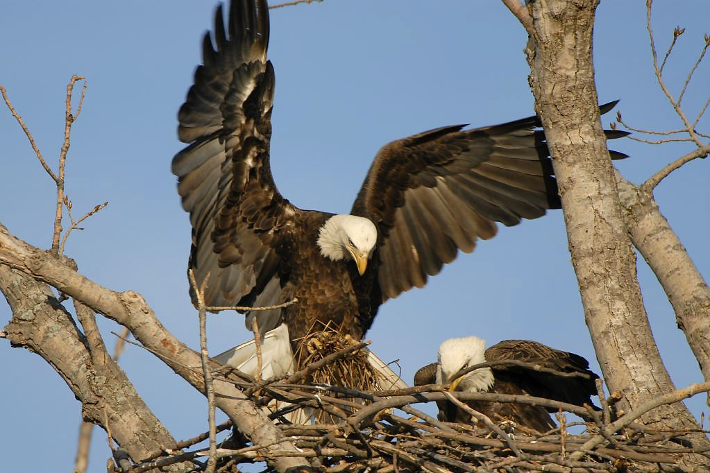 Bald eagle nest to a person