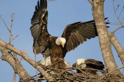 Bald Eagle (Haliaeetus leucocephalus) by Aesthetic Photos