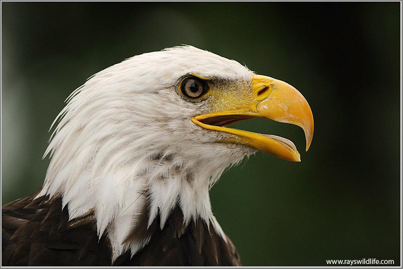 Bald Eagle by Raymond J Barlow