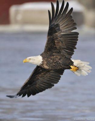 Bald Eagle (Haliaeetus leucocephalus) Flying by Aesthetic Photos