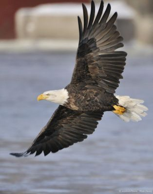 Bald Eagle (Haliaeetus leucocephalus) Flying by Aesthetic Photos