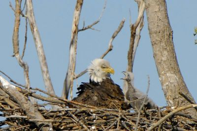 Bald Eagle with Eaglet - Aesthetic