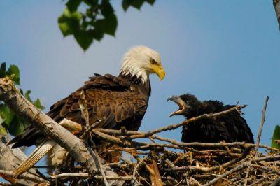 Bald Eagle with Older Eaglet - Aesthetic