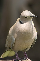 Eurasian-collared Dove in Israel