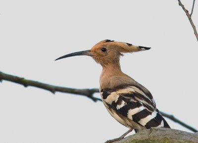 Eurasian Hoopoe (Upupa epops) by William Kwong
