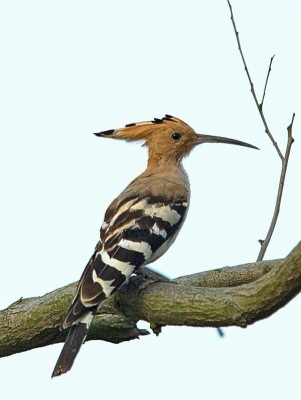Eurasian Hoopoe By William Kwong