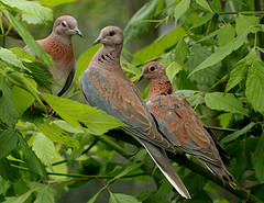Doves in Israel