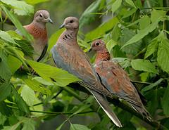 Dove in Israel