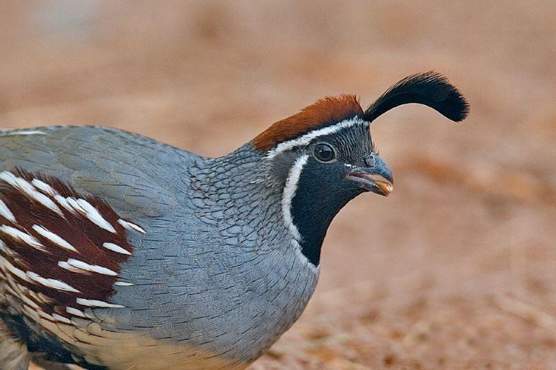 quails - photo #21