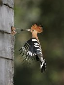 Hoopoe Feeding Young ©©Dvir Lotan from Israel