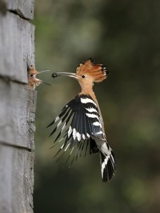 Hoopoe Feeding Young from an email