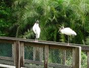 Wood Stork at S. Lake Howard Nature Park